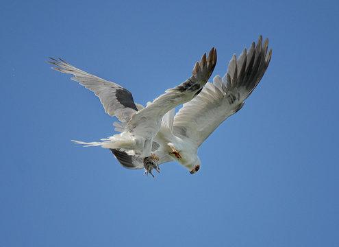 White tailed Kites exchanging prey (gopher) in midair