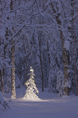 Lit christmas tree in a birch forest at twilight;Anchorage alaska united states of america