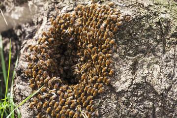 Wild honey bees in a hollow tree (Apis mellifera), Toronto, Ontario, Canada