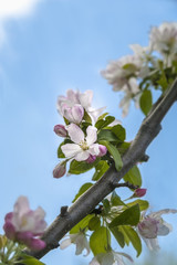 Pink and white crabapple flowers against a blue sky, Toronto, Ontario, Canada