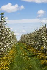 Apple orchard in bloom, Farnham, Quebec, Canada