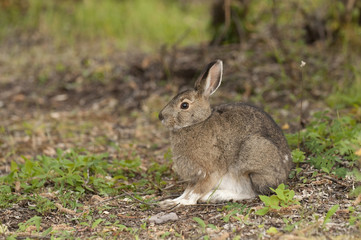 Profile View Of A Snowshore Hare Resting In Teklanika Campground, Denali National Park And Preserve, Interior Alaska, Summer