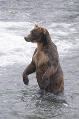 Brown bear (ursus arctos) standing in the river at brooks camp in katmai national park;Alaska united states of america