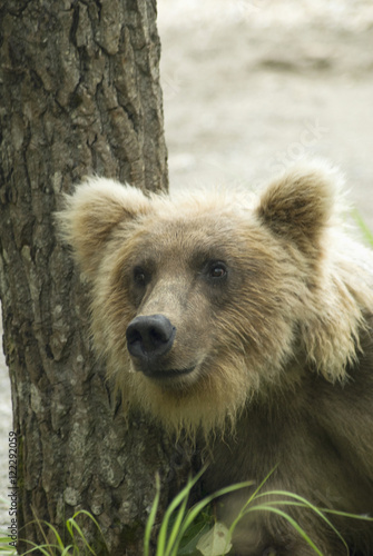 Brooks (KY) United States  city photos : ursus arctos in brooks camp katmai national park;Alaska united states ...
