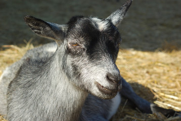 little gray goat resting on hay at the farm