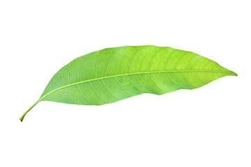 mango leaves isolated on white background