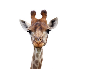 I see you - Giraffe - Giraffa Camelopardalis