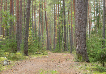 Path leading through a pine forest in sweden