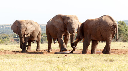 This is MINE - African Bush Elephant