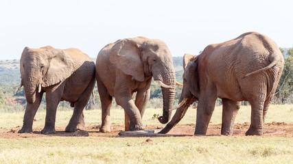 My Foot is Down - African Bush Elephant