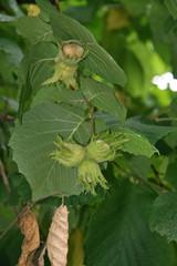 Avellano con avellanas en verano (Corylus avellana)