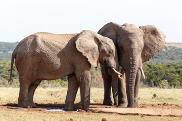 In Love - African Bush Elephant