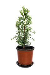 Domestic cypress isolated on white
