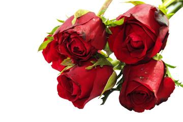 Close up of Valentine rose on white Background