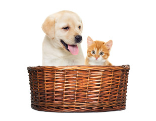labrador puppy and kitten in a basket