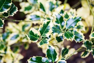 Ilex aquifolium (Golden queen holly) - tree and details