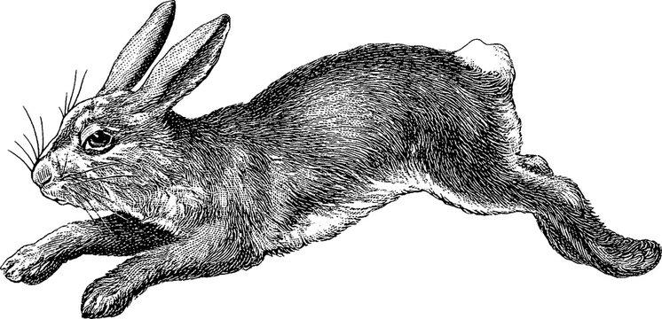 Vintage image rabbit