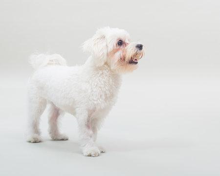 Portrait of cute female maltese dog on gray background.