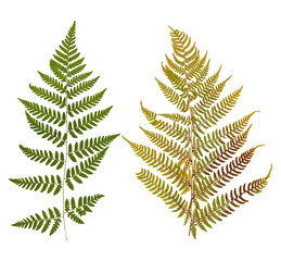 Set of wild dry leaf fern pressed, isolated