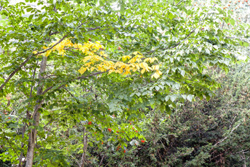 Yellow and green leaves in the branches of a beech tree
