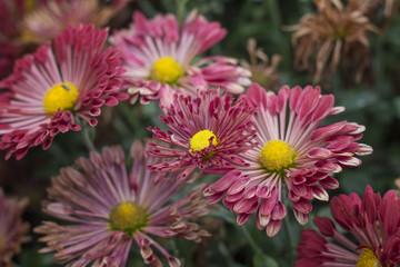 Natural background of bright sensual purple chrysanthemums