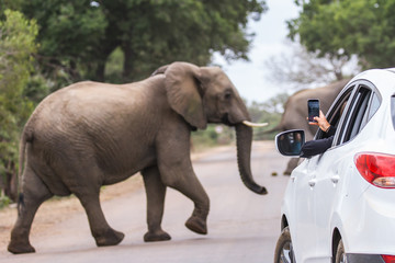 An elephant crossing a road while a tourist is taking pictures