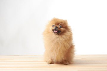 pomeranian dog sitting on wooden table