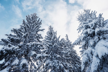 fir trees covered with frst and snow under the blue cloudy sky i