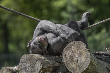 Playful chimpanzee portrait close up at open resort