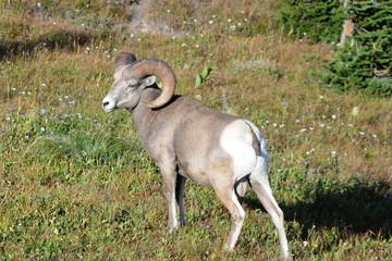 Bighorn Ram, Glacier National Park