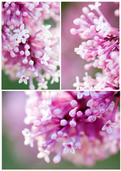 picture set of closeup pink lilac  flowers,