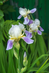 Purple irises on green