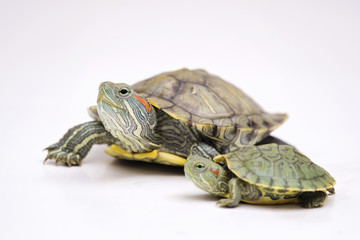 The Brazilian Red eared slider turtles with white background