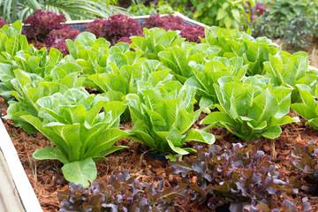 fresh lettuce plants