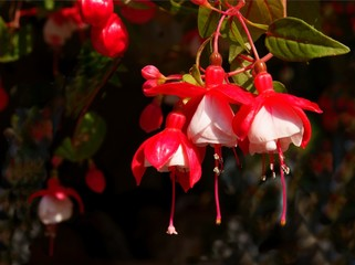 red and white flowers of fuchsia potted plant