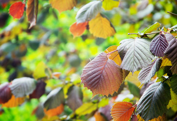 Colorful leaves of hazel tree enlightened with sun
