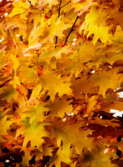 Bright autumn leaves in the natural environment.