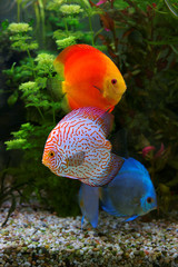 Discus (Symphysodon), multi colored cichlids in the aquarium, the freshwater fish native to the Amazon River basin