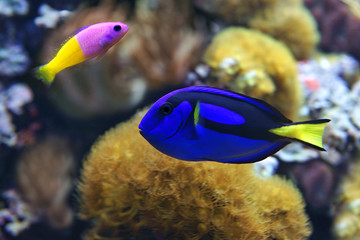 Blue tang (Paracanthurus hepatus), and Bicolor Dottyback (Pictichromis paccagnella)