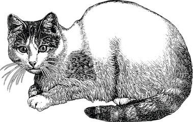 Vintage illustration cat