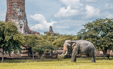 Elephant for Tourists and tour at Landscape Ayutthaya Historical