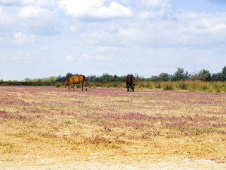 wild horses in Letea, Danube Delta