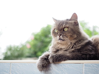 gray persian cat looking forward