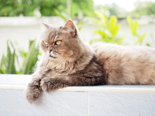 yellow eye from old gray persian cat looking