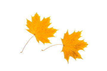 Two yellow, withered, maple leaves. On white, isolated background.