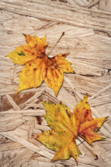 Dray Maple Leaves On Grunge Wooden Chipboard Background