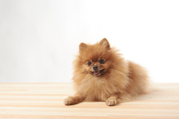 pomeranian dog sitting on wooden table