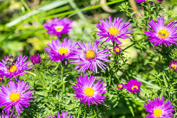 The cushion Aster (Aster dumosus)