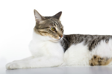 Angry look, mixed breed cat is sitting. Isolated white. Looking at left