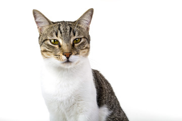 stray cat is sitting against isolated white background. Head shot. Cool and angry looks.